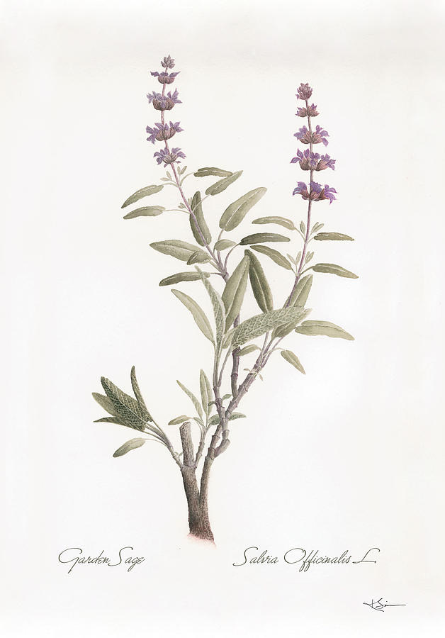 salvia-officinalis-botanical-kathleen-simpson