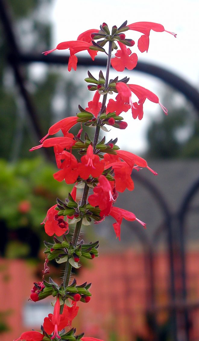 annual Salvia, 'Lady in Red'